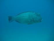 Bumphead Parrotfish (Bolbometopon muricatum)