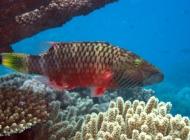 cheeklined-maori-wrasse-oxycheilinus-digrammus-wrasses-labridae_3521