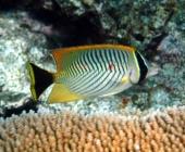 chevroned-butterflyfish-chaetodon-trifacialis-butterflyfishes-chaetodontidae_8642