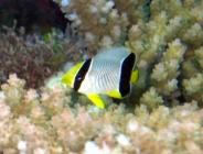 chevroned-butterflyfish-chaetodon-trifacialis-butterflyfishes-chaetodontidae_juv_25314