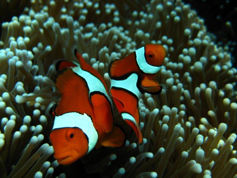 Anemonefish   Clown Anemonefish Nautilus Scuba Club Cairns