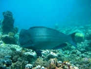 bumphead-parrotfish-bolbometopon-muricatum-parrotfishes-scaridae_41167