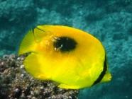 ovalspot-butterflyfish-chaetodon-speculum-butterflyfishes-chaetodontidae_41156