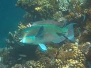 steephead-parrotfish-chlorurus-microrhinos-parrotfishes-scaridae_41222