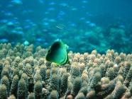 triangular-butterflyfish-chaetodon-baronessa-butterflyfishes-chaetodontidae_juv_41169