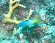 yellowtail-fangblenny-meiacanthus-atrodorsalis-combtooth-blennies-blennidae_41148