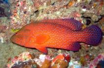 coral-cod-cephalopholis-miniata-seabasses-serranidae_20302