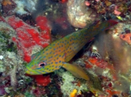 coral-cod-cephalopholis-miniata-seabasses-serranidae_juv_30987