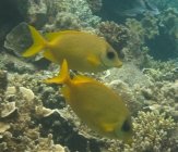 coral-rabbitfish-siganus-corallinus-rabbitfishes-siganidae_15468