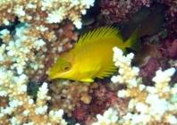 coral-rabbitfish-siganus-corallinus-rabbitfishes-siganidae_juv_33293