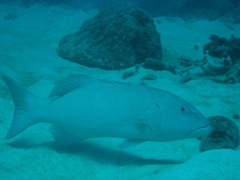 Coral Trout Nautilus Scuba Club Cairns