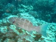 Coral Trout (Plectropomus leopardus)