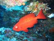crescent-tail-bigeye-priacanthus-hamrur-bigeyes-priacanthidae_31475
