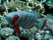 crescent-tail-bigeye-priacanthus-hamrur-bigeyes-priacanthidae_7026