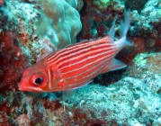 crown-squirrelfish-sargocentron-diadema-squirrelfishes-holocentridae_33232