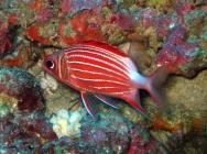 crown-squirrelfish-sargocentron-diadema-squirrelfishes-holocentridae_35956