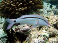 dash-dot-goatfish-parupeneus-barberinus-goatfishes-mullidae_36357