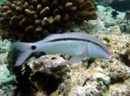 dash-dot-goatfish-parupeneus-barberinus-goatfishes-mullidae_36357