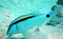 dash-dot-goatfish-parupeneus-barberinus-goatfishes-mullidae_3913