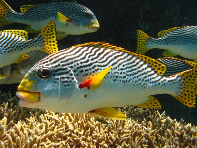 Diagonal banded sweetlips nautilus scuba club cairns for Sweet lips fish