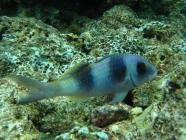 doublebar-goatfish-parupeneus-bifasciatus-goatfishes-mullidae_23281