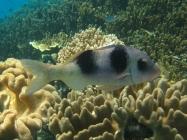 doublebar-goatfish-parupeneus-bifasciatus-goatfishes-mullidae_8103