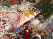 dwarf-hawkfish-cirrhitichthys-falco-hawkfishes-cirrhitidae_23919