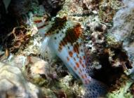 dwarf-hawkfish-cirrhitichthys-falco-hawkfishes-cirrhitidae_39338