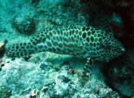 dwarf-spotted-rockcod-epinephelus-merra-seabasses-serranidae_4808