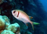 epaulette-soldierfish-myripristis-kuntee-squirrelfishes-holocentridae_34585