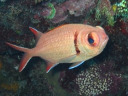 epaulette-soldierfish-myripristis-kuntee-squirrelfishes-holocentridae_8927