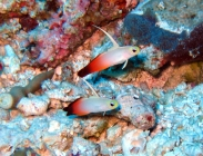 fire-dartfish-nemateleotris-magnifica-dartfishes-ptereleotridae_26031