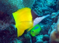 forcepsfish-forcipiger-flavissimus-butterflyfishes-chaetodontidae_10267