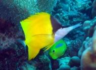 forcepsfish-forcipiger-flavissimus-butterflyfishes-chaetodontidae_10267