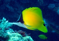 forcepsfish-forcipiger-flavissimus-butterflyfishes-chaetodontidae_6465