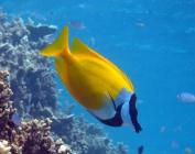 foxface-siganus-vulpinus-rabbitfishes-siganidae_15467