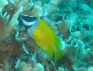 foxface-siganus-vulpinus-rabbitfishes-siganidae_juv_13813