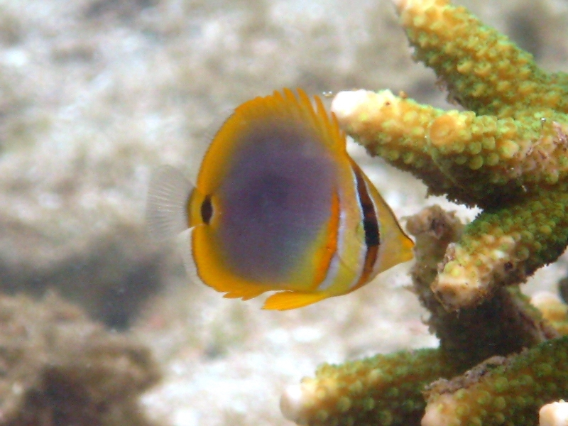 Golden Striped Butterflyfish Nautilus Scuba Club Cairns