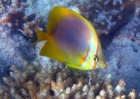 golden-striped-butterflyfish-chaetodon-aureofasciatus-butterflyfishes-chaetodontidae_40054