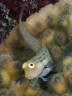 Great Barrier Reef Blenny_Ecsenius stictus_Blennies_Blenniidae