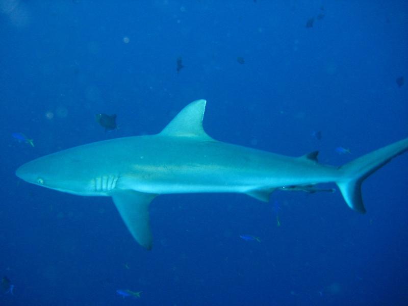 Grey Reef Shark Nautilus Scuba Club Cairns
