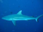 grey-reef-shark-carcharhinus-amblyrhynchos-requiem-sharks-carcharhinidae_32290