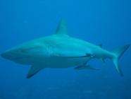 grey-reef-shark-carcharhinus-amblyrhynchos-requiem-sharks-carcharhinidae_32543