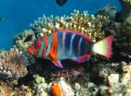 harlequin-tuskfish-choerodon-fasciatus-wrasses-labridae_39540