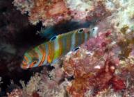 harlequin-tuskfish-choerodon-fasciatus-wrasses-labridae_juv_33702