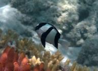 humbug-dascyllus-dascyllus-aruanus-damselfishes-pomacentridae_8235