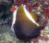 Humphead Bannerfish_Heniochus varius_Butterflyfish_Chaetodontidae