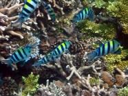 indo-pacific-sergeant-abudefduf-vaigiensis-damselfishes-pomacentridae_21802