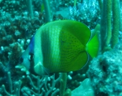 kleins-butterflyfish-chaetodon-kleinii-butterflyfishes-chaetodontidae_4982