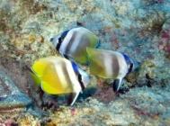 kleins-butterflyfish-chaetodon-kleinii-butterflyfishes-chaetodontidae_juv_31326